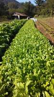 Arugula_and_chinese_cabbage_field_harvest_view_w_tyler